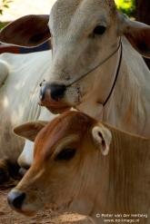 cows close
