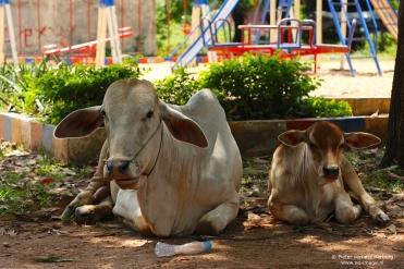 cows playground